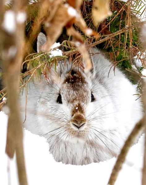 Hiding Snowshoe Hare (5)