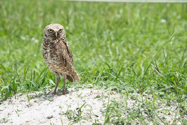 Burrowing Owl in Vista View Park in Florida