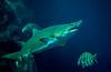 20131021 - 3353 Sand Tiger Shark