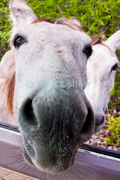 """Bonaire, Netherland Antilles -- Wild donkeys beg handouts from the unwarry who leave their windows open.   © Rick Collier<br /> <br /> <br /> <br /> <br /> Bonaire; """"Netherlands Antilles""""; Caribbean; tropic; tropical; vacation; destination; donkey; """"wild donkey"""";"""