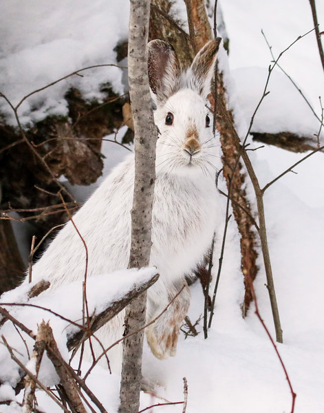 Close Encounter with a Snowshoe Hare 2