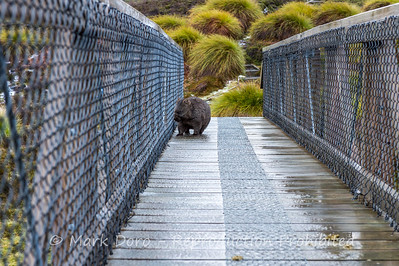 Wombat checking out the view from a bridge on the Overland Track