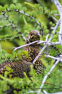 "Mother Grouse - Also called ""Willow Ptarmigan"" in Newfoundland - Gros Morne National Park, Newfoundland, Canada - Summer 2009."