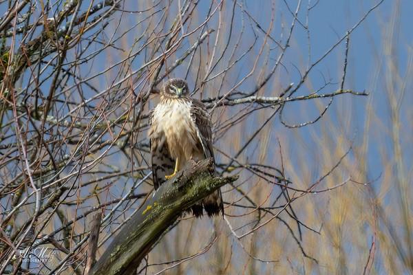 Northern Harrier (Marsh Hawk)