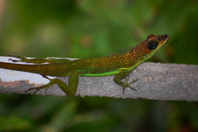 Barbados lizard