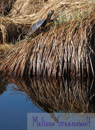 "The painted turtles were out in force at Campton Bog. I came around the bend in my kayak and heard a ""sploosh!""...but I couldn't find the source. Another sploosh...still no sign of anything. Then I happened to look a little further beyond, and there were these turtles, sunning themselves on the vegetation. Dozens of them.<br /> <br /> I had some trouble getting close enough slowly enough, but I think I lucked out on this guy/gal. Seconds after I shot this...sploosh!<br /> <br /> Gone."