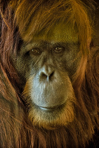 Katy, a very beautiful adult orangutan at the Indianapolis Zoo  Simon Skjodt International Orangutan Center, USA, IN.