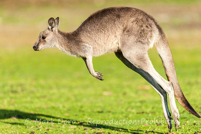 Eastern Grey Kangaroo, Little Desert National Park, Victoria