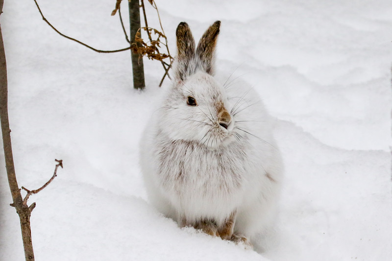 Close Encounter with a Snowshoe Hare 23