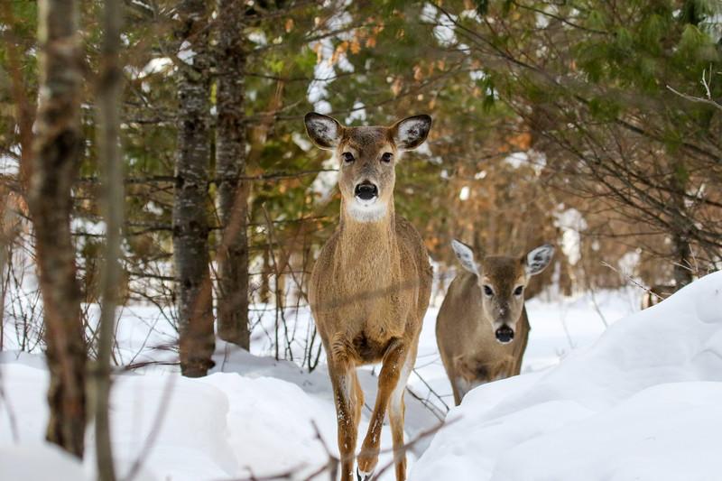 Walking the Deer Trail 1