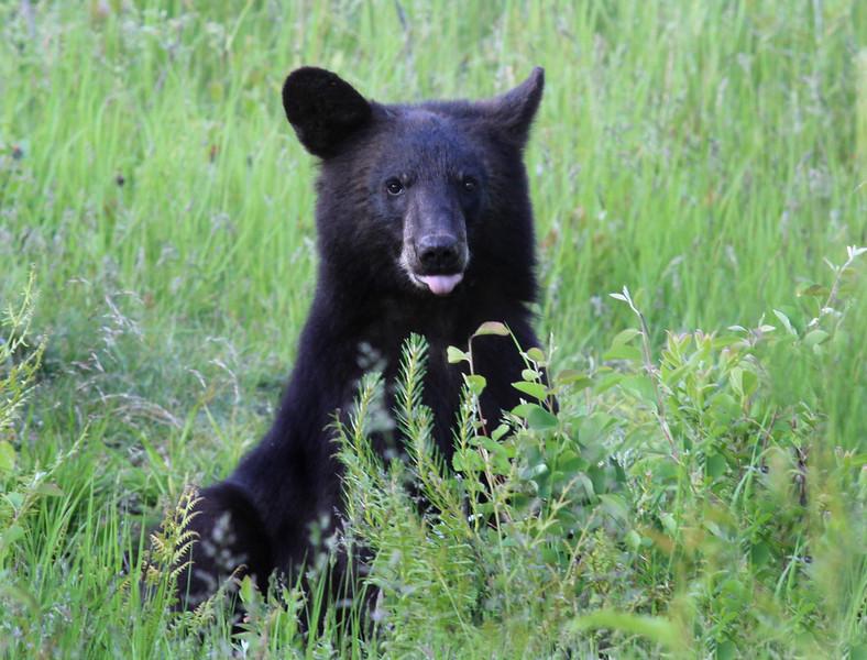 """ Sitting Pretty "" Wild Black Bear yearling cub posing for a photo shoot."