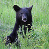 """ Sitting Pretty "" Wild Black Bear yearling cub posing for a photo shoot."