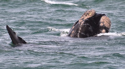 Whale in Hermarnus Bay ……………….[ Copyright © - Photo by Barry Jucha ]