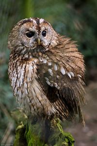 """""""Gezuckerte Eule? Schuhu! Schuhu! Schnell weg, rief die Eule. Fort war sie im Nu.""""  / """"Owl ice cream! Toowhit toowhoo! Goodbye, little mouse, and away Owl flew."""""""