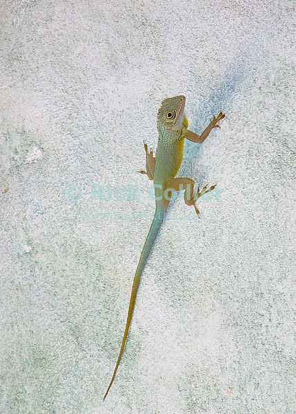 Amanoka Villa, Discovery Bay, Jamaica.  Lizards add little bits of interest, color, and insect control around the villa.  © Rick Collier<br /> <br /> <br /> <br /> <br /> <br /> Jamaica Discovery Bay Amanoka Villa tropical island paradise beach summer fun relaxation wildlife color lizard
