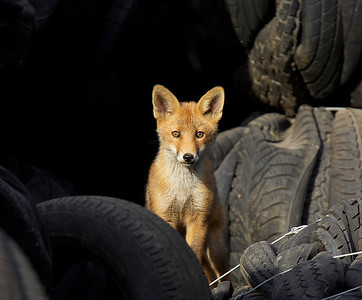 Fox cub in tyre pile