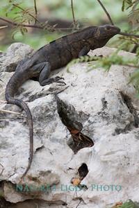 Ctenosaur, Palo Verde NP, Costa Rica-0603