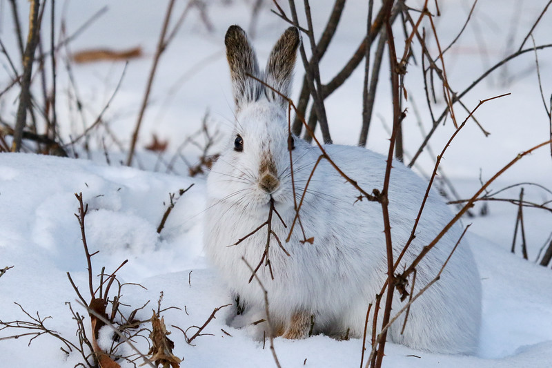 Snowshoe Hare Eating Lunch 2