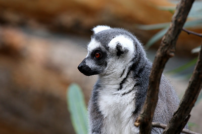 Ring-tailed lemur at the Bronx Zoo