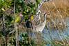 20210123 - 2768 Sandhill Cranes
