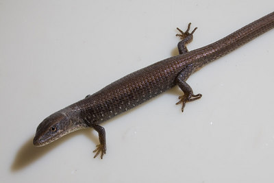 This alligator lizard has taken up residence in our shower.