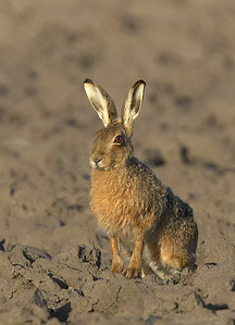 Brown hare in ploughed field