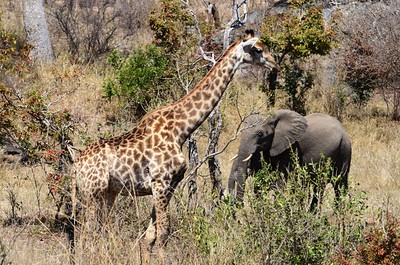 "Giraffe and ""ellies"" abundant ……………….[ Copyright © - Photo by Barry Jucha ]"