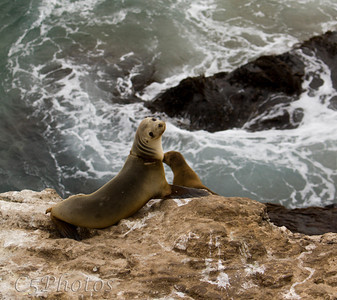 Seals at Pt. Dume, CA