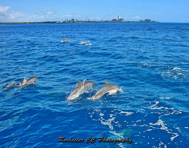 Spinner Dolphins off the island of Oahu, Hawaii