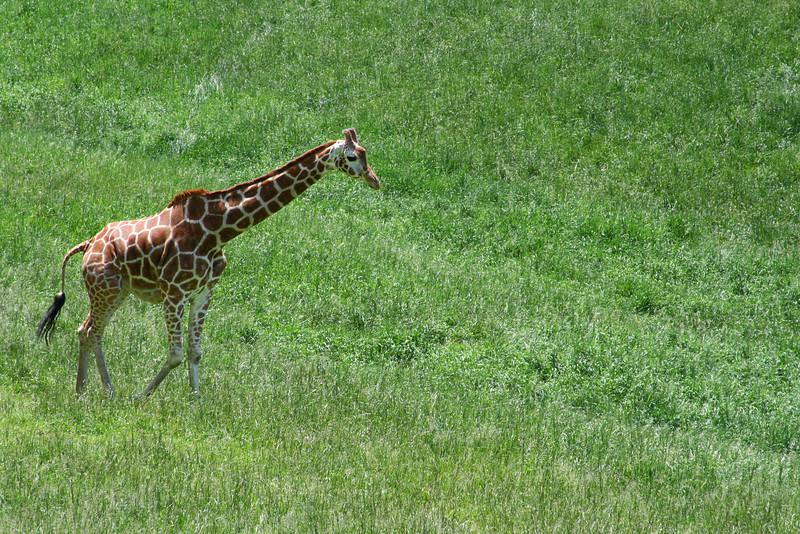 A tall giraffe on the African plain.