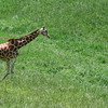 A tall giraffe on the African plain.