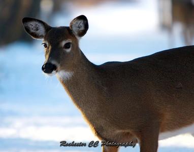 Whitetail Deer in Mendon Ponds Park.