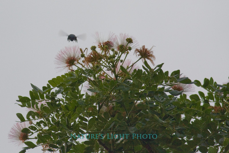 Carpenter Bee - Palo Verde NP, Costa Rica-0329