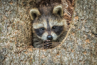 USA, Minnesota, Sandstone, Minnesota Wildlife Connection. Racoon in a hollow tree with paws clasped together.