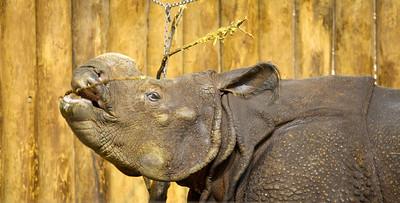 Rhinoceros at the Bronx Zoo (July 2011)