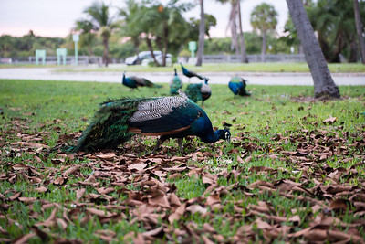 Peacocks in search for food.