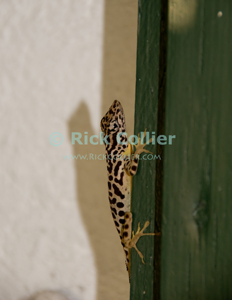 Saba - Only one kind of lizard lives on Saba.  This large male leopard-spotted lizard was sighted every afternoon, hanging out on our back deck at Scout's Place in Windwardside.  © Rick Collier
