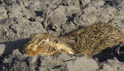 Brown hare lying low