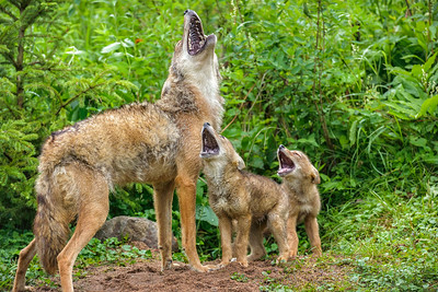 USA, Minnesota, Sandstone, Minnesota Wildlife Connection. Coyote mother and pups howling together.
