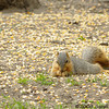 Happy fox squirrel in a land of plenty<br /> West Oshtemo, Kalamazoo County, Michigan<br /> May 2009