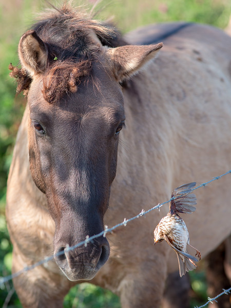 Konik horse and dead starling