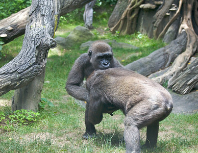 Young gorillas in the Bronx Zoo (July 2011)