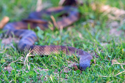 Tiger snake, Williamstown, Victoria
