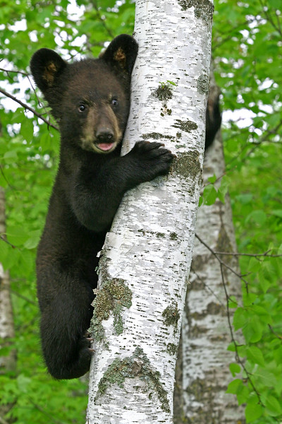 Bear in Tree #2-A