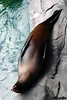 """The Good Life""<br><br>  Seal at the Rochester Zoo"