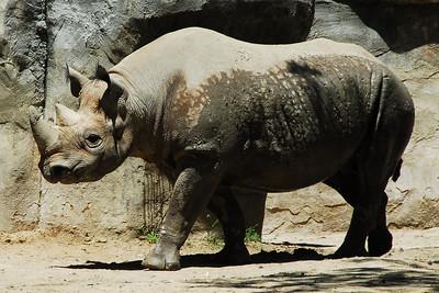 Brookfield Zoo - Rhino