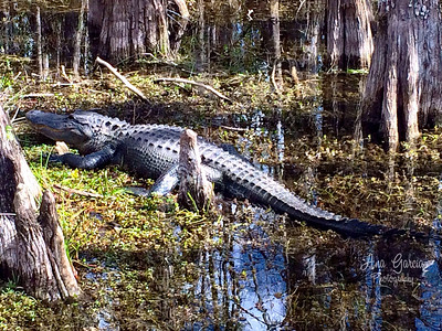 Gator Tanning. | #AnaGarciaPhotography