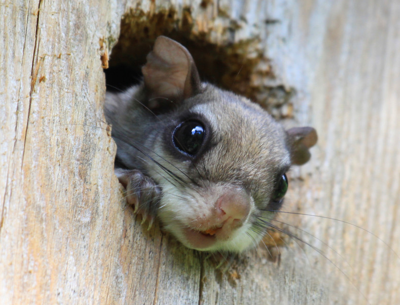"""Peek A Boo I See You""  Baby Flying Squirrel"