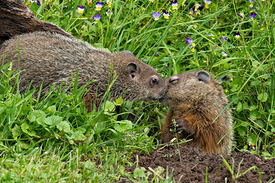 USA, Minnesota, Sandstone, Minnesota Wildlife Connection. Two groundhogs kissing or touching faces in the grass surrounded by pansies.