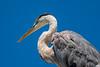 100707 - 2993 Great Blue Heron